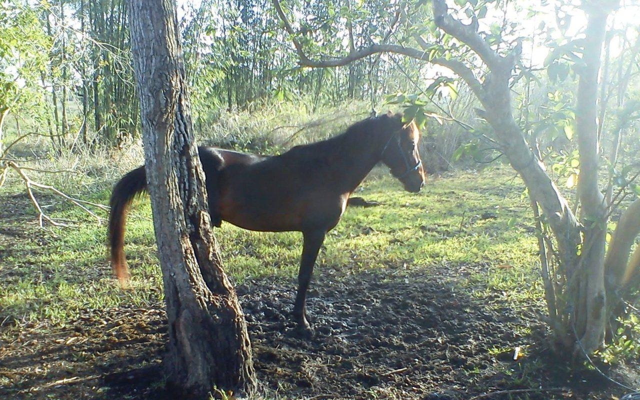 kuda sandalwood sumba timur