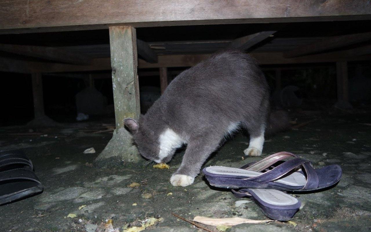 kucing ras di muara bulian