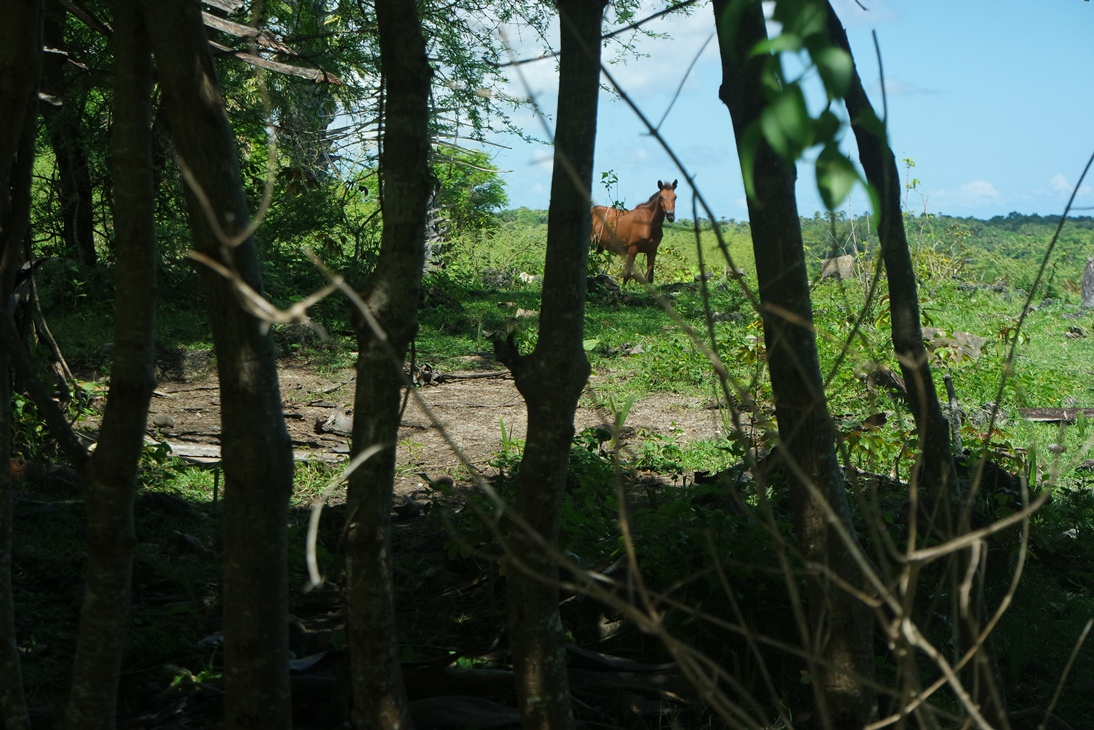 kuda di pulau rote