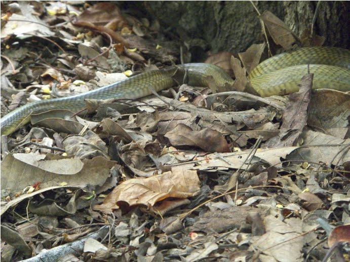 spitting cobra pulau rinca