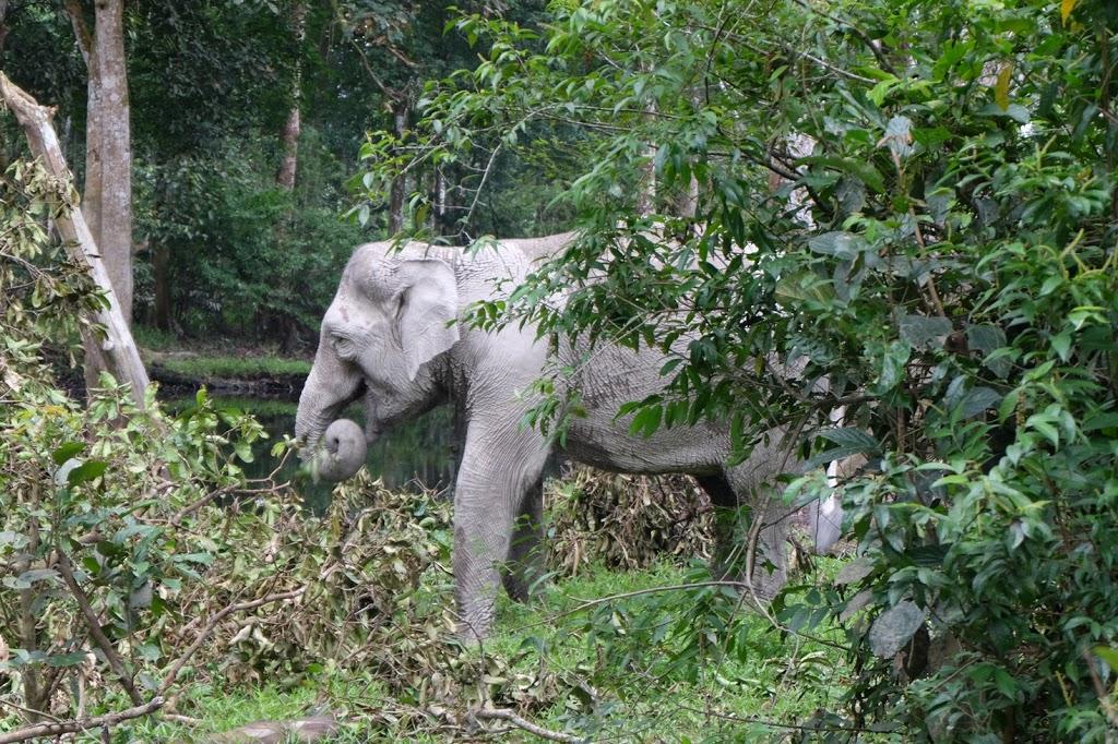Gajah Ngatini di Taman Wisata Alam Buluhcina