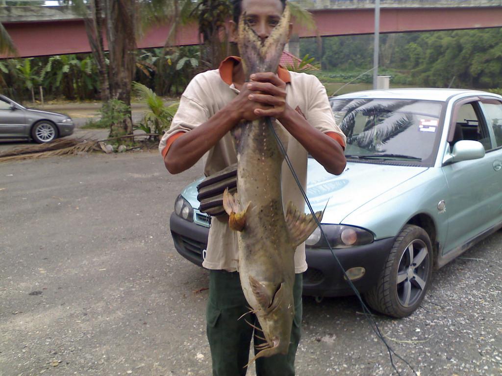 ikan baung musi