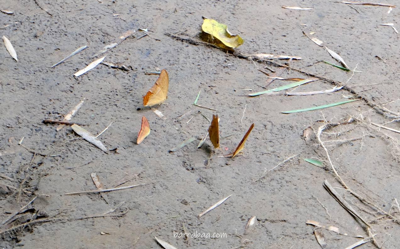 kupu-kupu taman nasional bantimurung